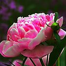 Full Bloom Peony by Teresa Zieba