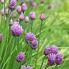 Chive Flowers by Maria Meester