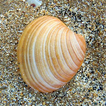 shell by KathleenDawson