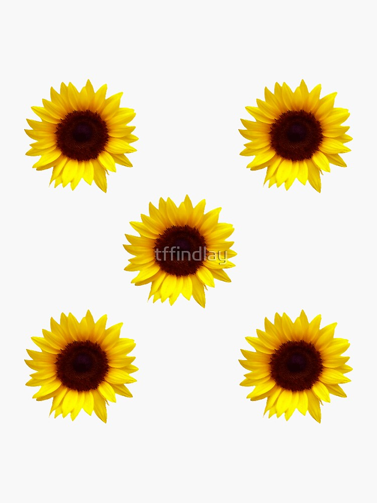 Girasoles de tffindlay