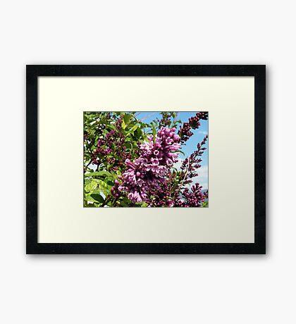 Pink Lilacs Framed Print