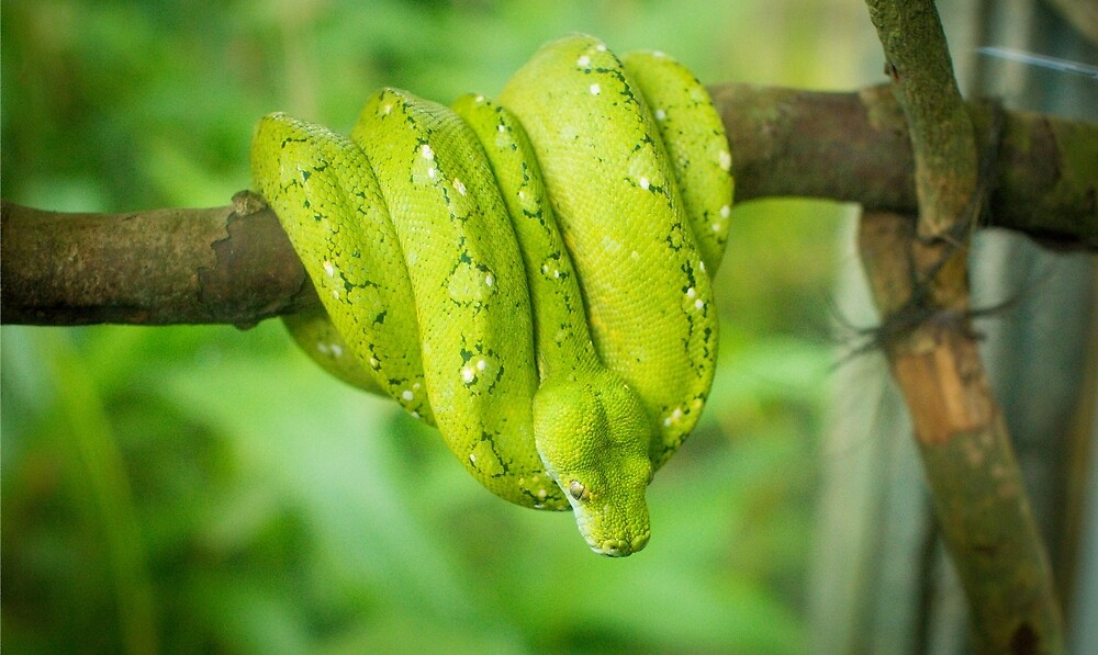 Green Snake by andrewsparrow