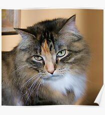 Bold Ruler of The House, Tabby/Maine Coon Poster