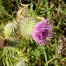 Thistle Flower Blooming by LadyStardust