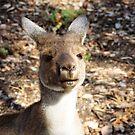 Kangaroo by JuliaKHarwood