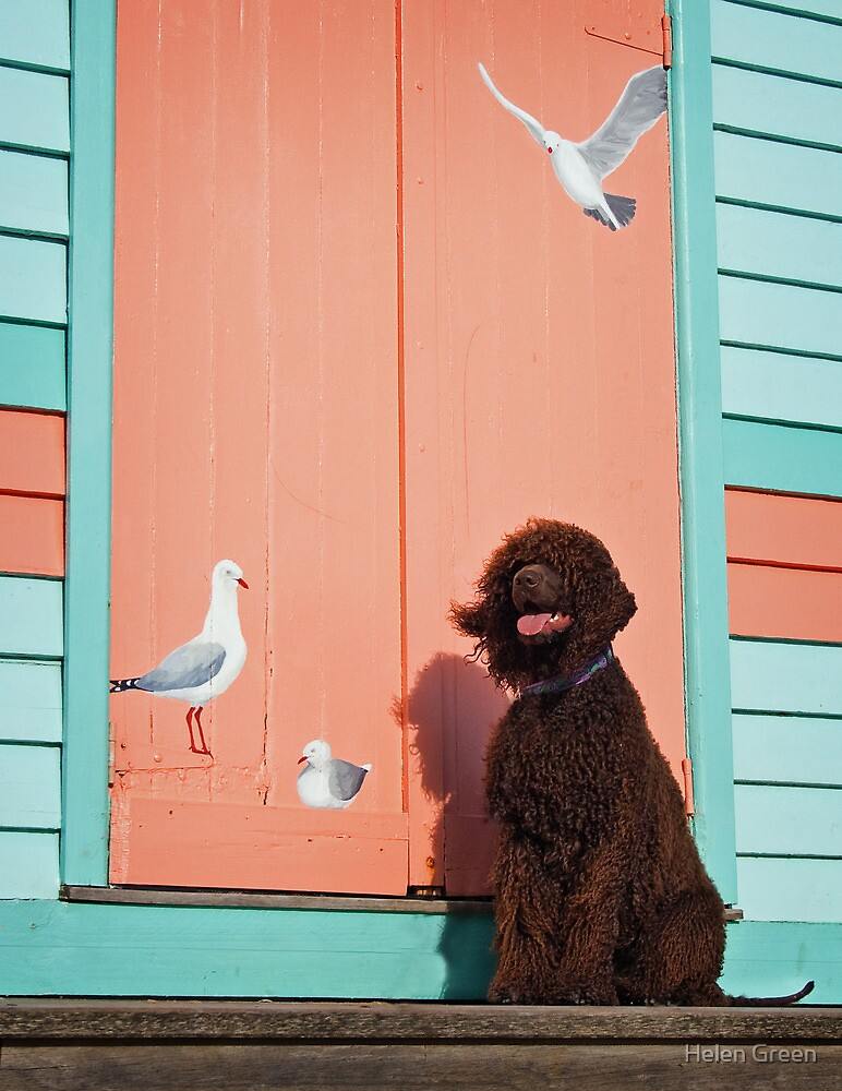 Irish Water Spaniel - Bird Dog by Helen Green