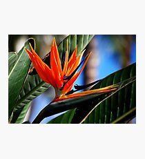 Bird of Paradise Photographic Print