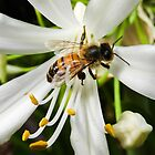 Bee on agapanthus by indiafrank