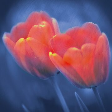 Two red tulips on a blue background by ARGO