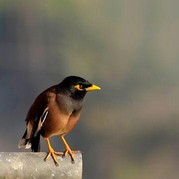 Common myna by franceslewis