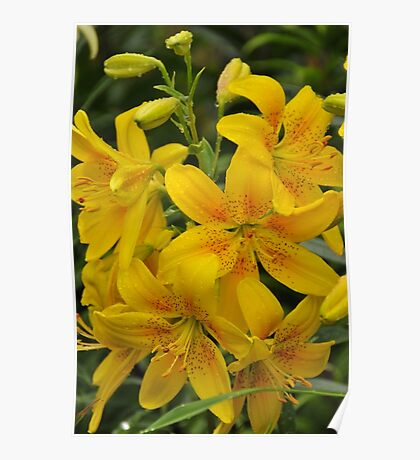 "Asiatic Lily ""Garden Treasure"" Poster"