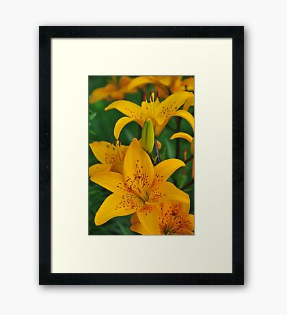"""Asiatic Lily """"Helios"""" Framed Print"""