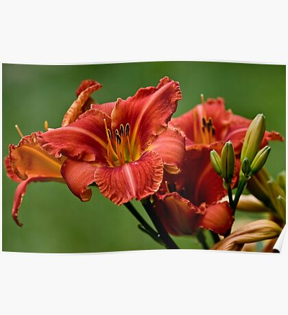 "Daylily ""Raging Wildfire"" Poster"