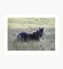 Shetland Pony Art Print