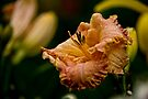 """Daylily """"Inherited Wealth"""" by Michael Cummings"""