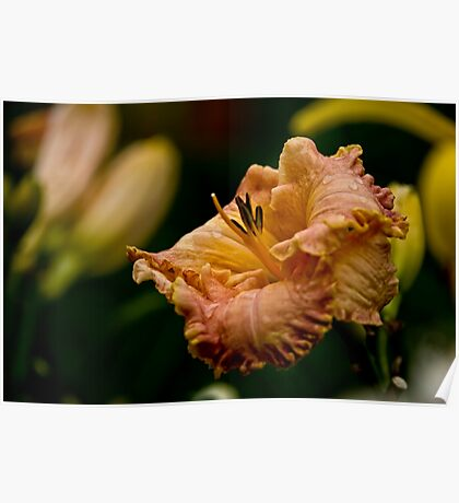 "Daylily ""Inherited Wealth"" Poster"