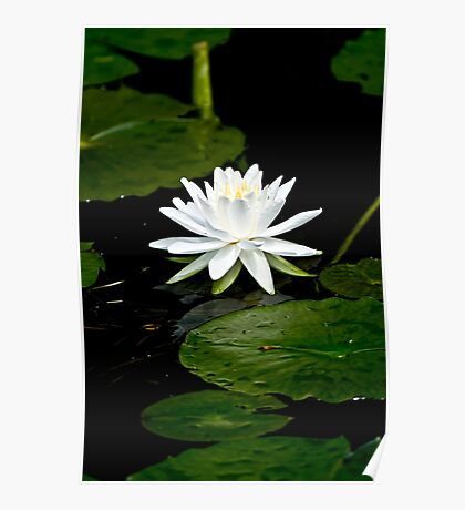 White Water Lily  Poster