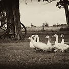 Chasing Geese - Argentina by Kent DuFault