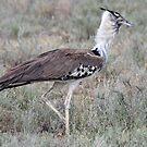 Kori Bustard - Serengeti National Park, Tanzania by Adrian Paul