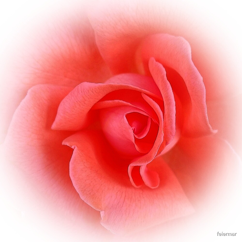 rosa Korallenrose von feiermar