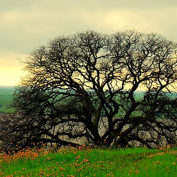 100 Years of Black Oak by davesdigis