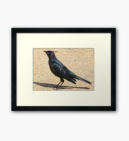 Brewer's Blackbird ~ Male Framed Print