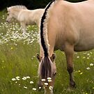 Fjord Horses in field of daisies by Roxane Bay