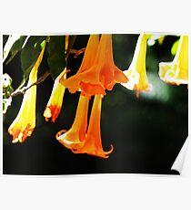 Datura Trumpet Flowers Poster