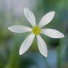 Rain Lilly - Jacques coffee plantation Mareeba  by Jenny Dean