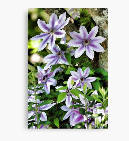 Clematis (Nelly Moser) Canvas Print