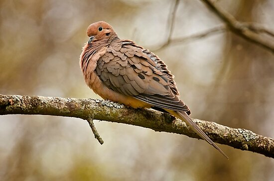 Mourning Dove by Michael Cummings