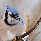 Blue Jay by Michael Cummings