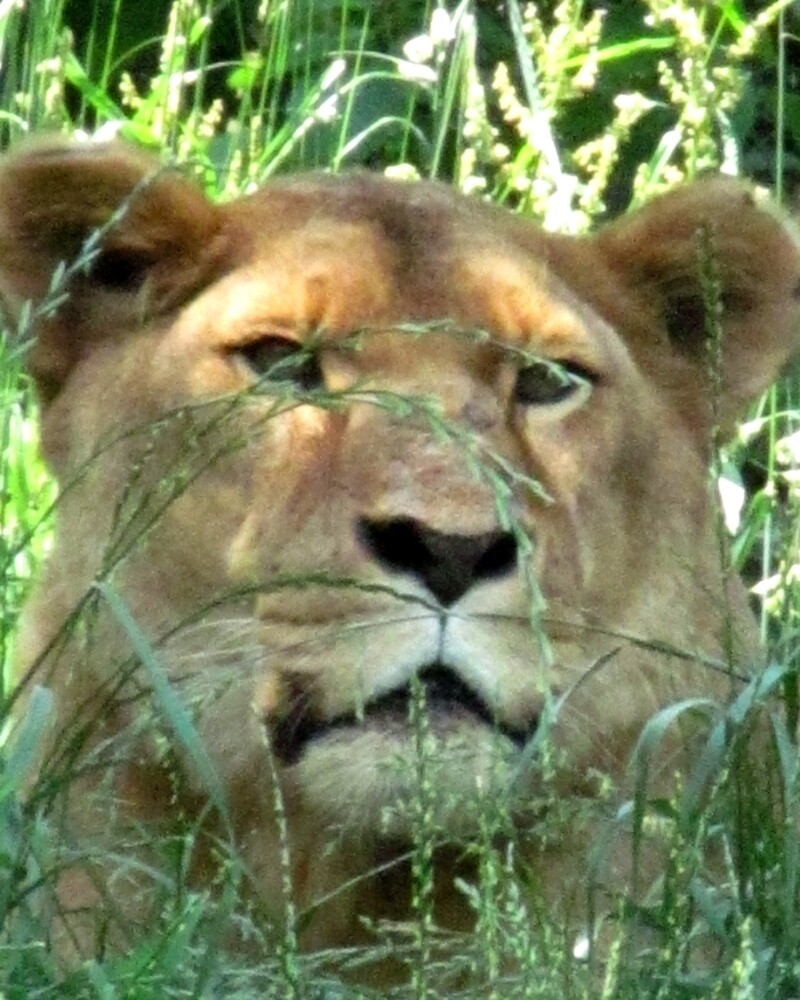 Pittsburgh Zoo: Lioness by ACImaging