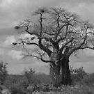 Baobab by Jo McGowan