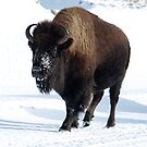 Bison in Yellowstone by MichaelBr