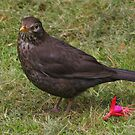 Ms Blackbird by christopher363