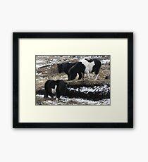 Shetlands and Snow Framed Print