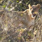 Lioness in Grass - WildAfrika by WildAfrika
