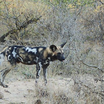 African Wild Dog 2 - Wild Afrika by WildAfrika