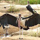 Marabou Storks - WildAfrika by WildAfrika