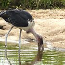 Marabou Stork - WildAfrika by WildAfrika
