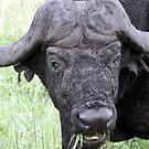 Cape Buffalo Grazing - WildAfrika by WildAfrika