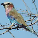Lilac Brested Roller by WildAfrika