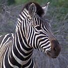 Zebra Portrait - WildAfrika by WildAfrika
