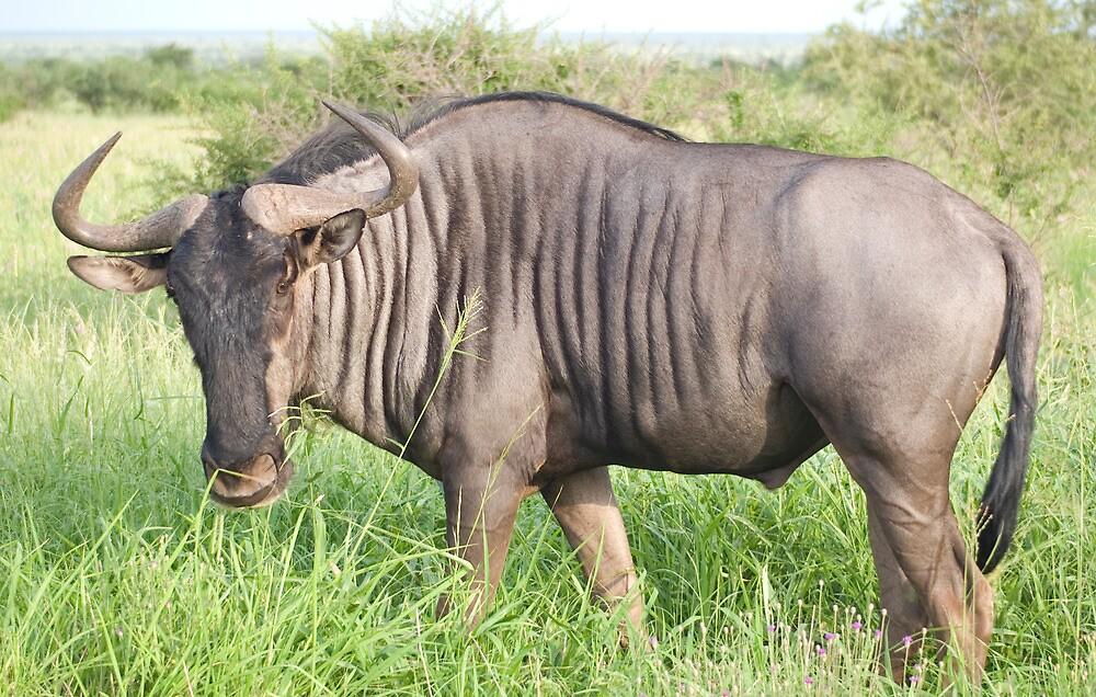 Wildebeest - WildAfrika by WildAfrika