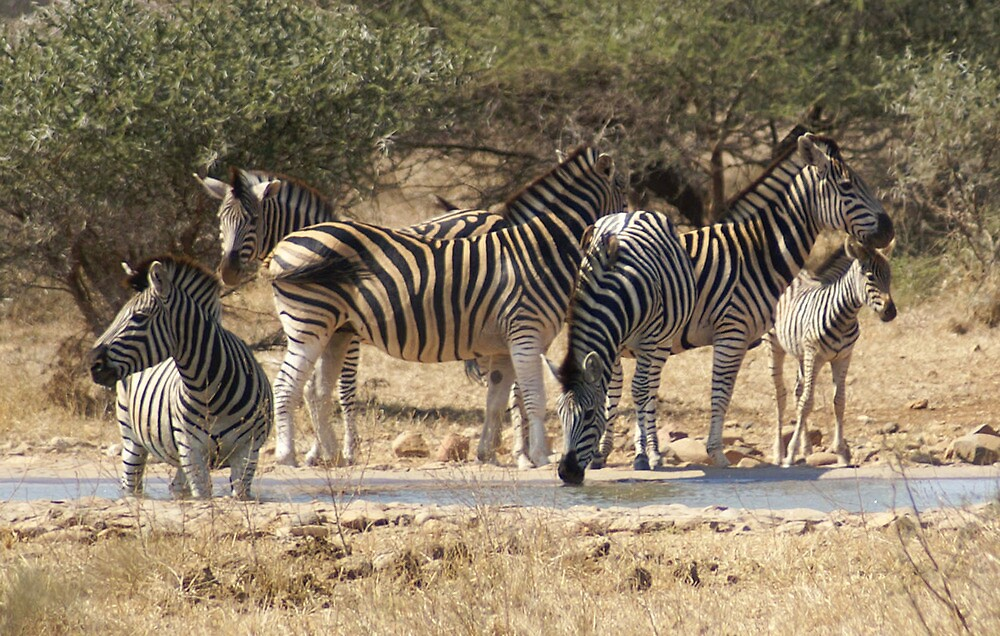 Zebra Harem at Water - WildAfrika by WildAfrika
