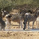 Zebra Harem at Water - WildAfrika by WildAfrika