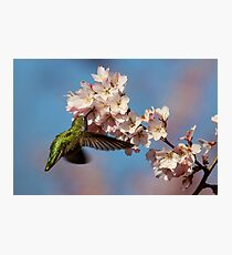Drinking Among Clouds of Pink Blossoms Photographic Print