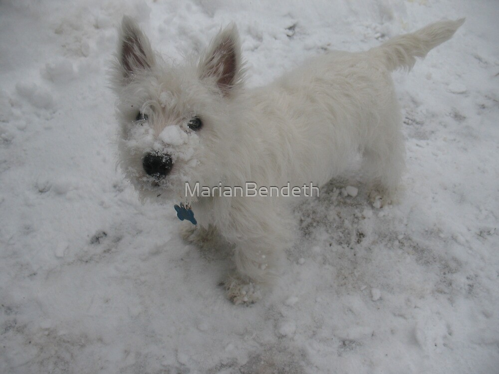Westies and Snow, the perfecto combo! by MarianBendeth