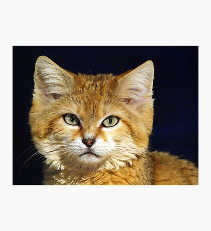 Siberian Sand Cat Photographic Print
